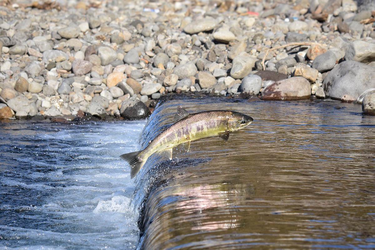 Ausztrál tűzvész – Több százezer hal pusztult el a Macleay folyóban