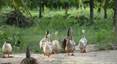 kacsa, madárinfluenza, baromfik