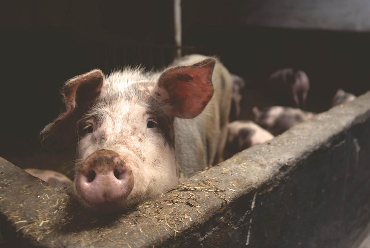 A tavaszi mezőgazdasági munkálatok időszakában még fontosabb az ASP elleni védekezés