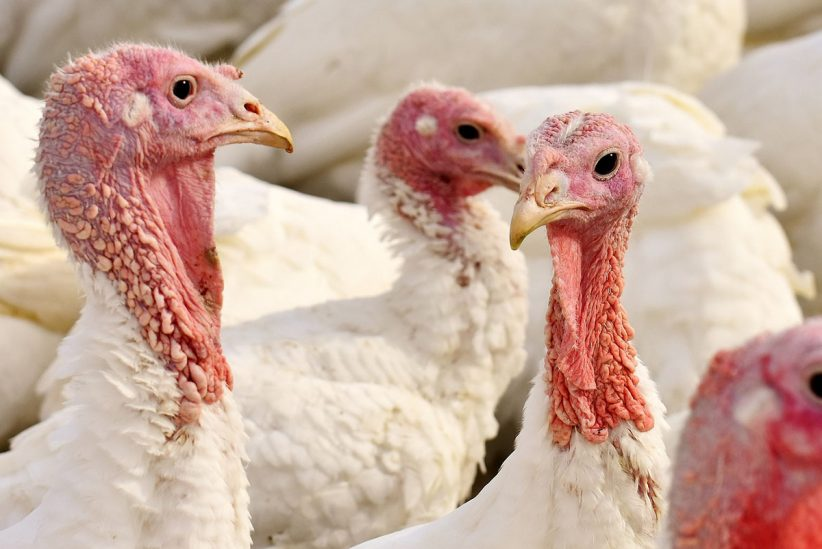 pulyka, madárinfluenza