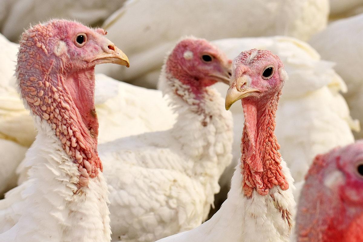 Madárinfluenza – 53 ezer pulykát ölnek le Komárom-Esztergom megyében