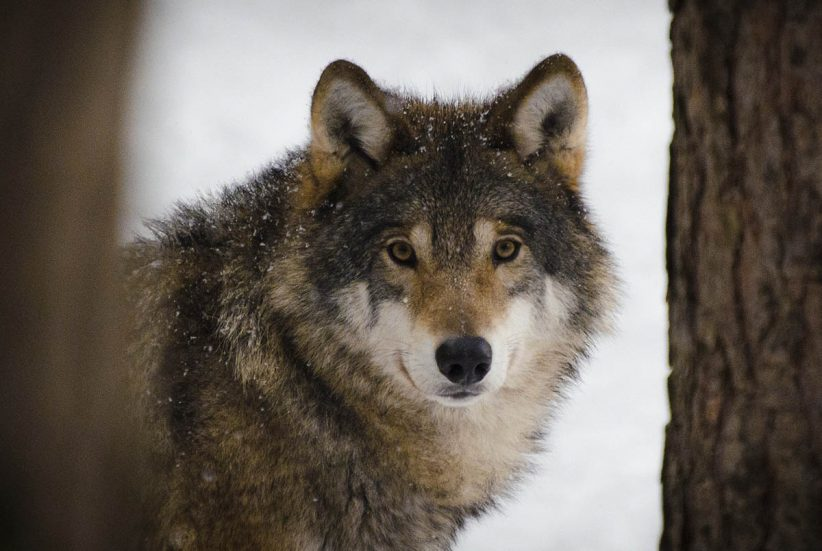 farkas, tudomány, játékos