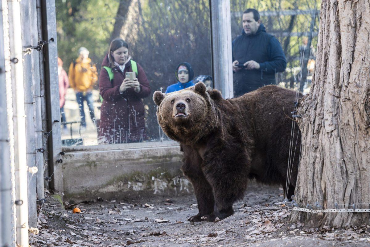 Meglátta árnyékát Balu, a fővárosi állatkert medvéje
