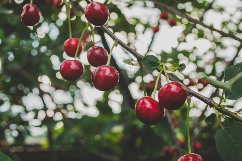 magyar, gyümölcs, gyümölcstermés