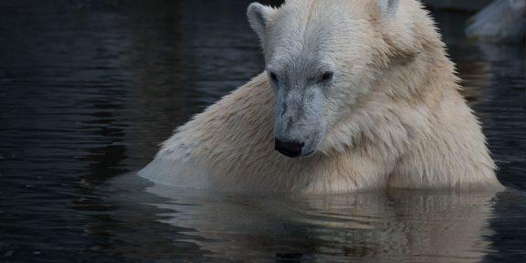 jegesmedve, jegesmedvék