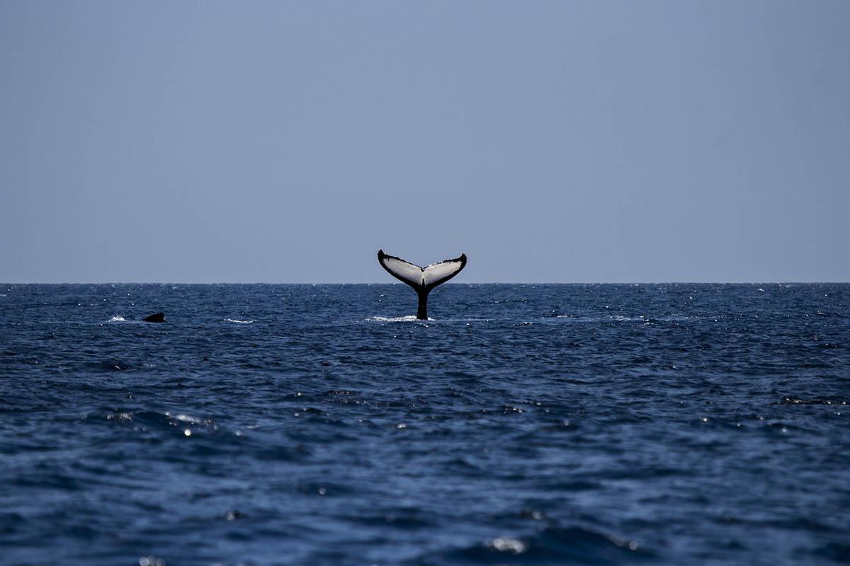 Rekordszámú kék bálna gyűlt össze az Atlanti-óceánon fekvő Déli-Georgia szigetnél