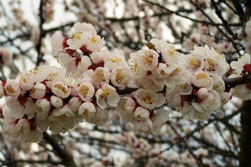 kajszibarack fa, virág, gyömölcs