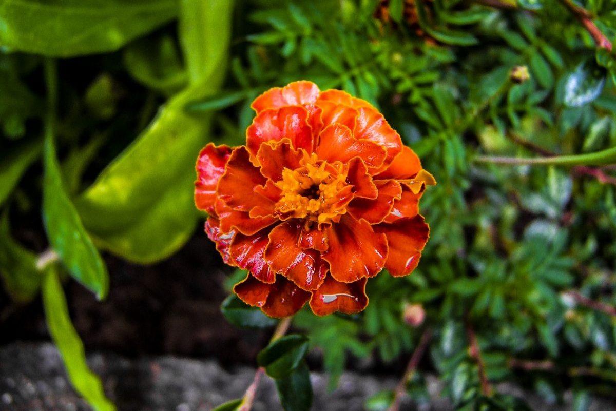 Bársonyvirág vetőmagokat tesztelt a Szupermenta