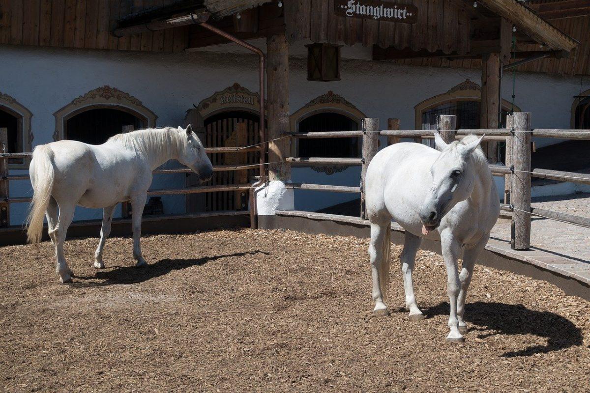Nyolc ország közösen kérte a lipicai ló-tenyésztés felvételét a világörökségi listára