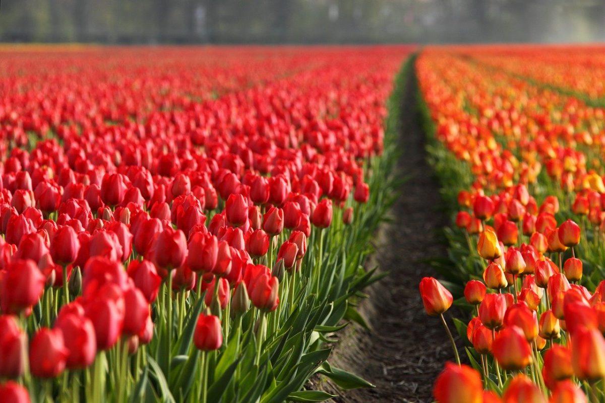 Összeomlás fenyegeti a holland kertészeti ágazatot