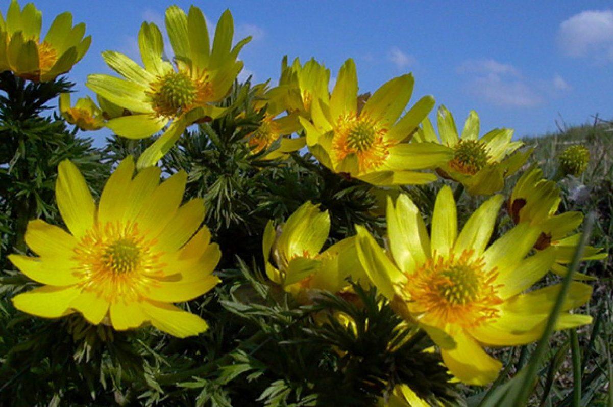 Virágzási csúcs: ezerháromszáz volgamenti hérics bontotta ki szirmait
