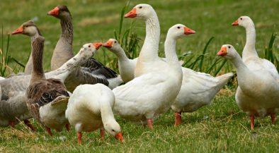 Békés, madárinfluenza