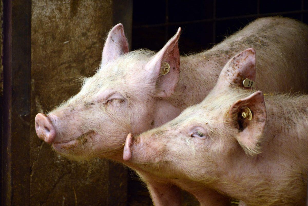 Japán utat nyitott a magyar sertéshús előtt