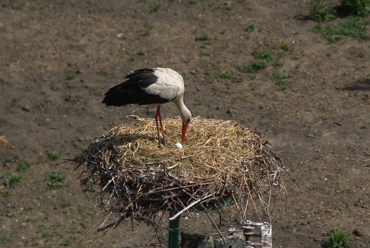 Megérkezett a békéscsabai sztárgólyapár idei első tojása