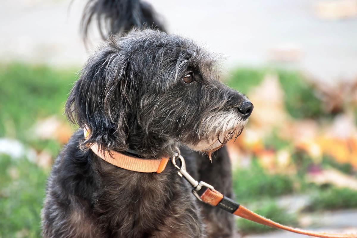A kutyanyakörvek veszélyességét tesztelte egy kutatócsoport