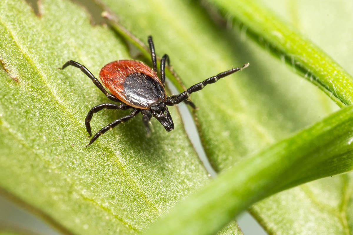 Kullancscsípés is okozhat a koronavírus-fertőzéséhez hasonló tüneteket