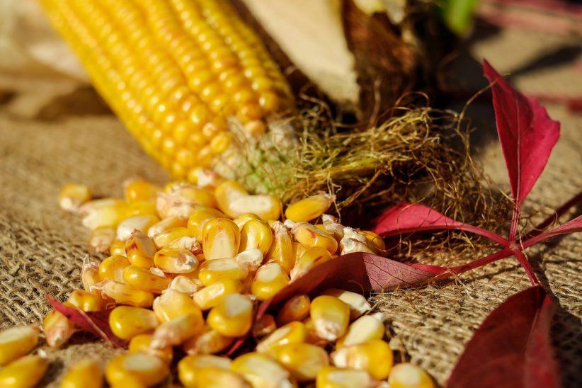 csemegekukorica, kukoricahozam