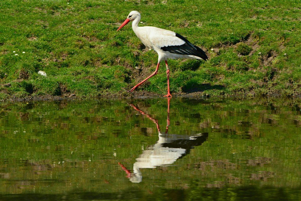 A gólyáknak is kedveznek a kardoskúti pusztán kialakult vízállások