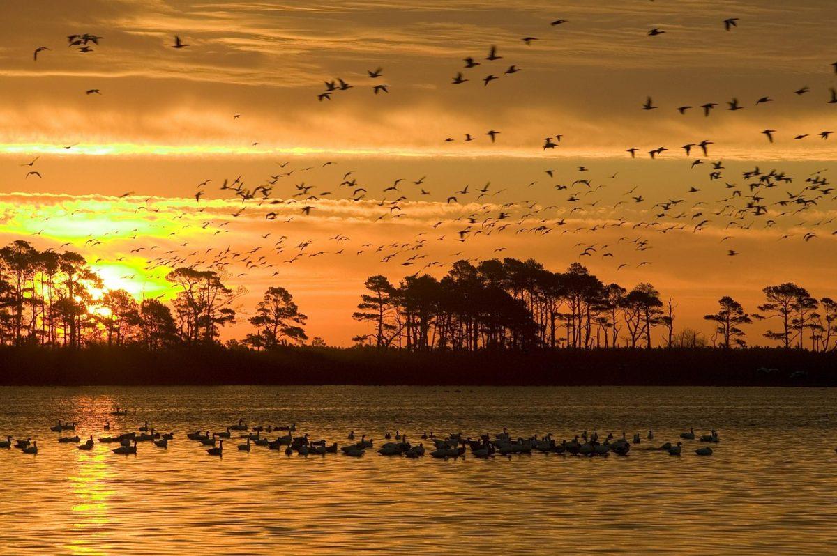 A madárvonulás során madarak milliói indulnak el a déli tájak felé