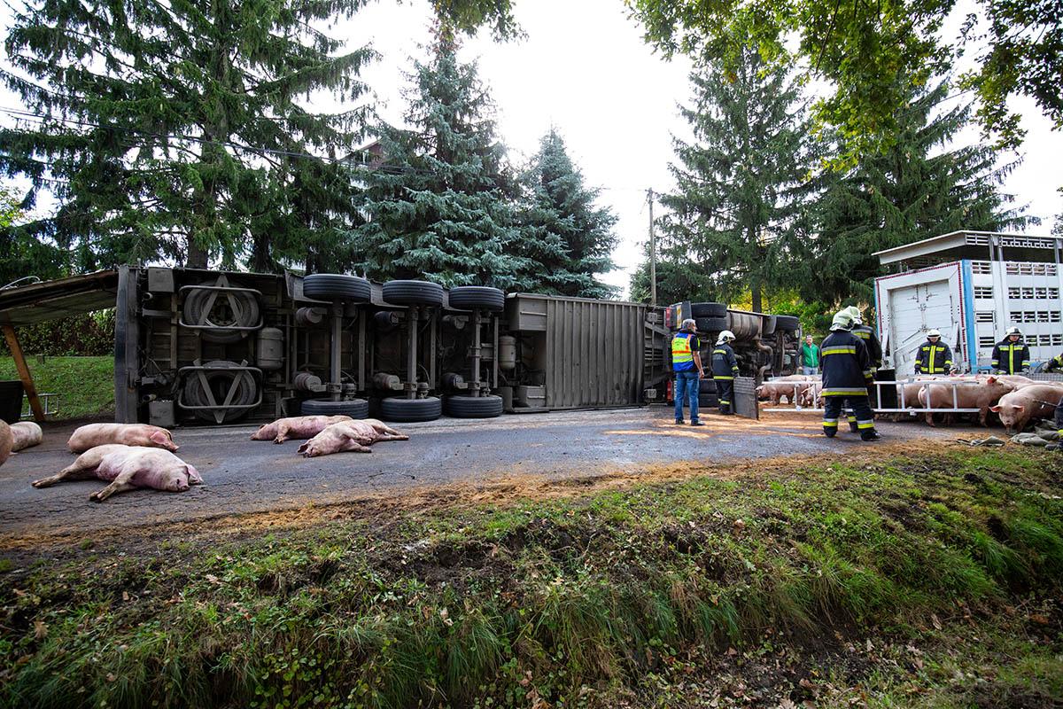 Felborult egy sertéseket szállító kamion Böhönyén