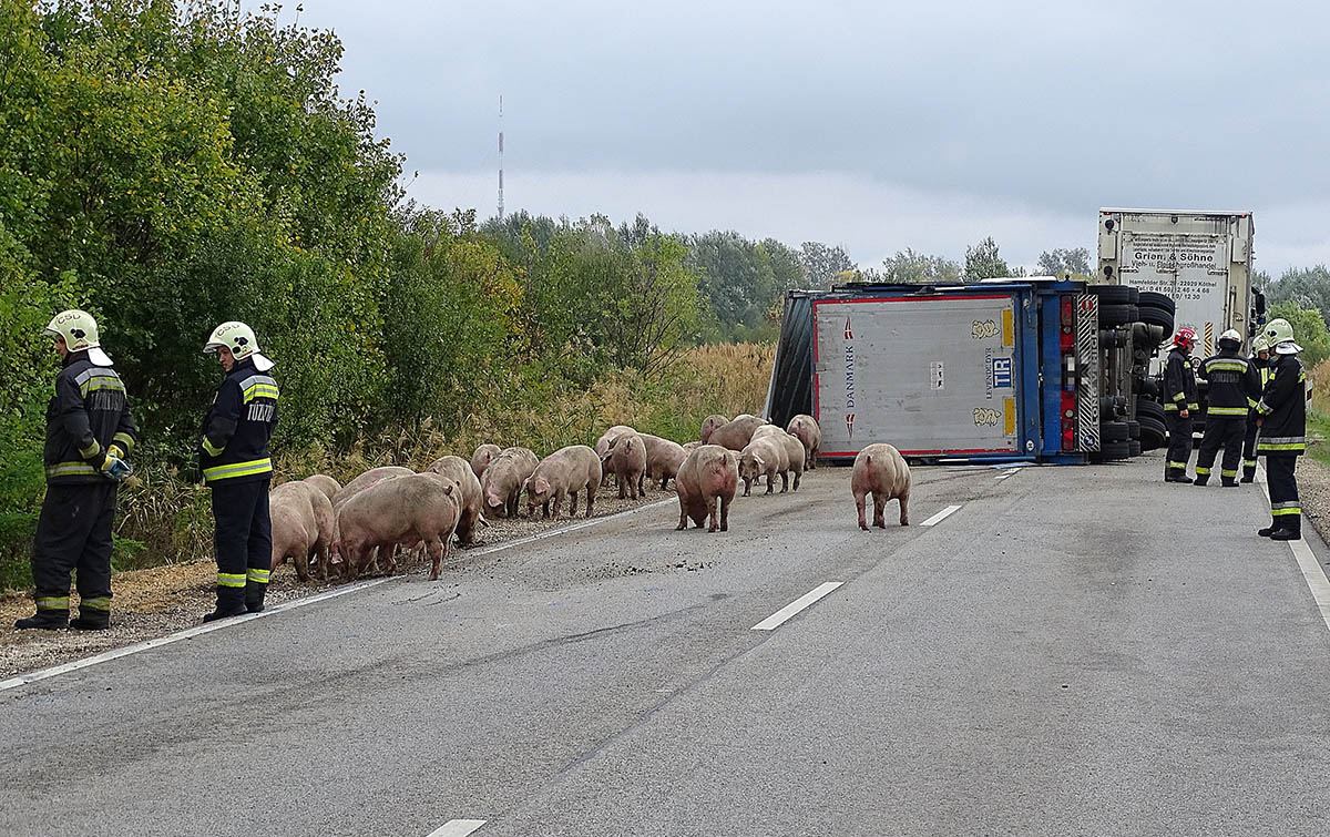 Sertéseket szállító kamion pótkocsija borult fel Szentesnél