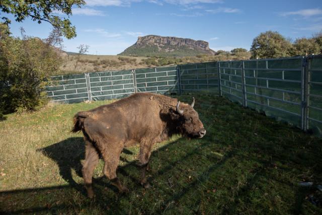 Állatkertekben élő európai bölények kerültek vissza a bulgáriai vadonba