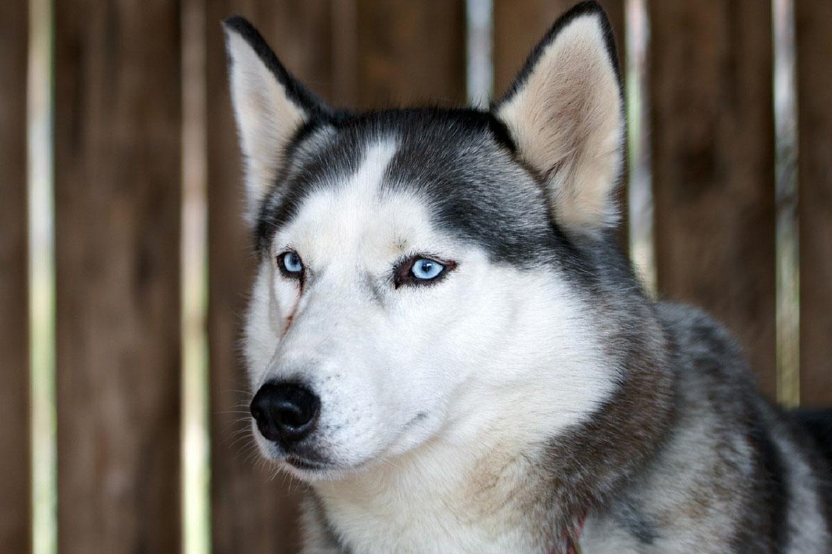 Már legalább öt kutyaféle létezett a jégkorszak alkonyán