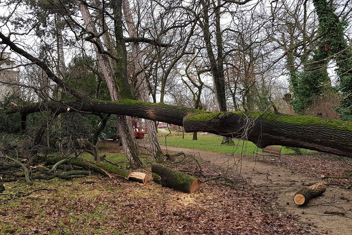 Kidőlt egy fa Békéscsabán a Széchenyi ligetben
