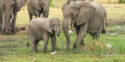 veszélyeztetett, elefántokat, Állatkerti