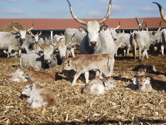 Hárembe kerültek a szürkemarha tehenek