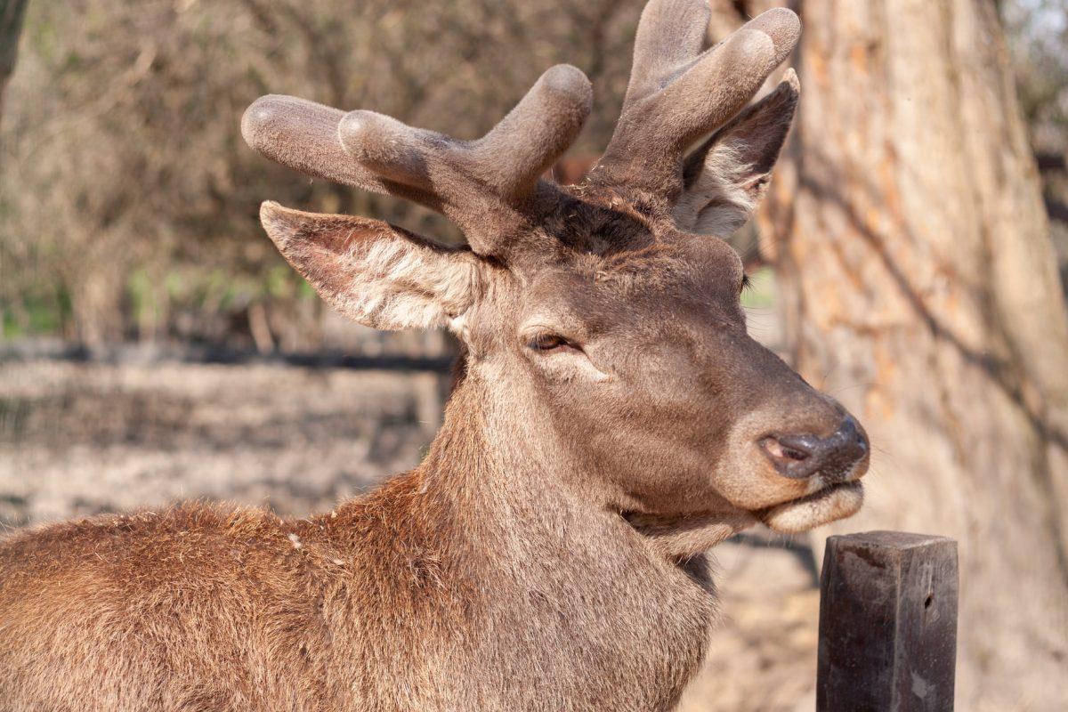 Levetette agancsát az állatpark gímszarvas bikája