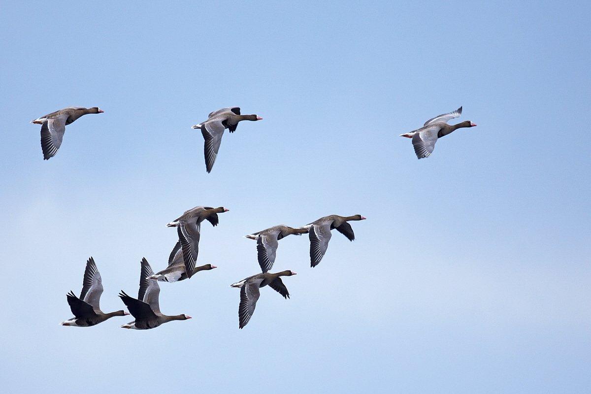 Zajlik a tavaszi madárvonulás a Dél-Alföldön