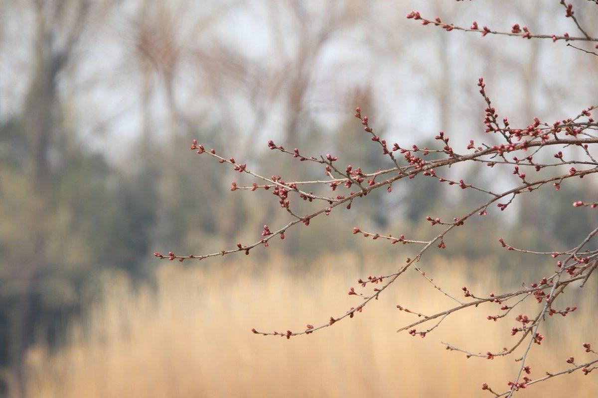 Egyre növekszik a tavaszi fagykárok gyakorisága
