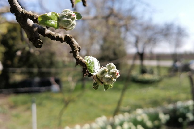 virágzó fa, tavasz