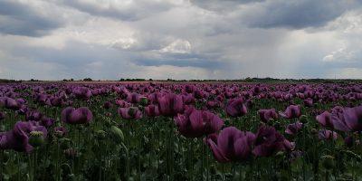 lila, mákvirág, mákmező Békéscsabán