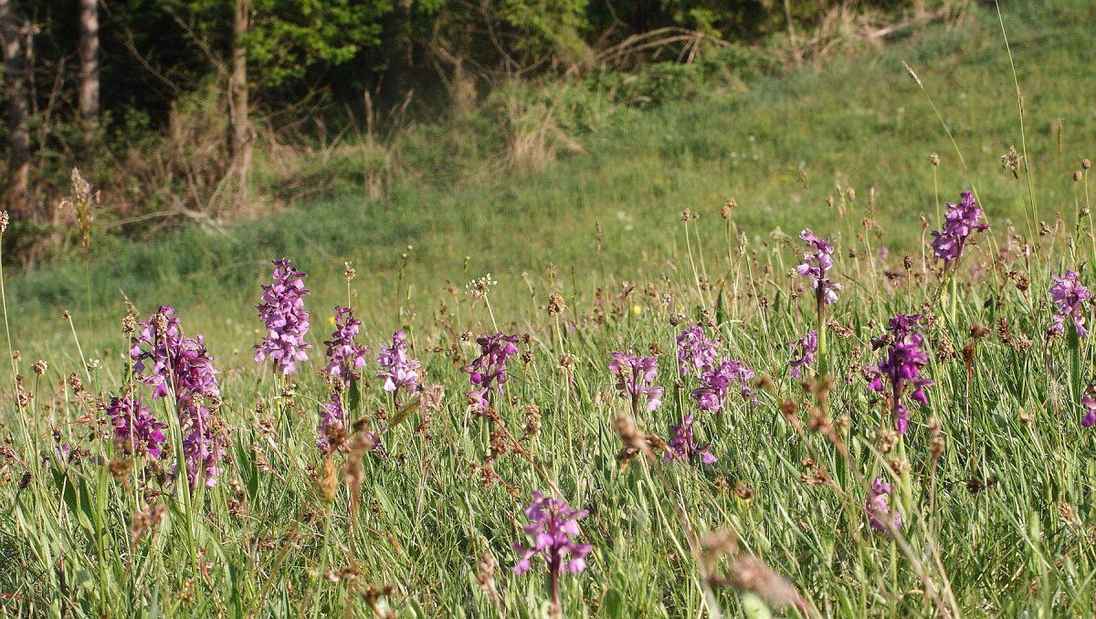 Színes orchideák a Kis-Sárréten – Felmérték az agárkosbor állományokat