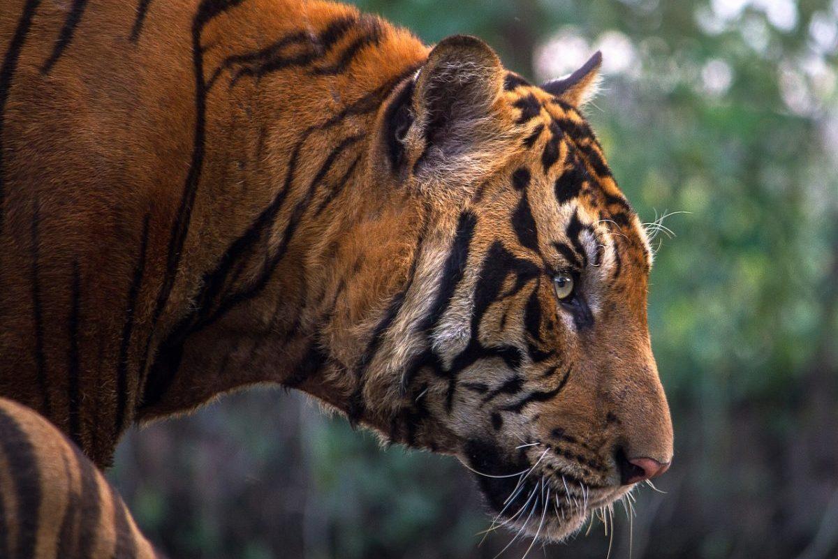 Húsz éve keresett orvvadászt tartóztattak le 70 bengáli tigris megöléséért