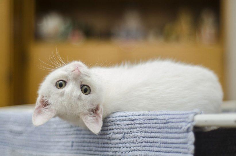 macska, cica, koronavírusos macska