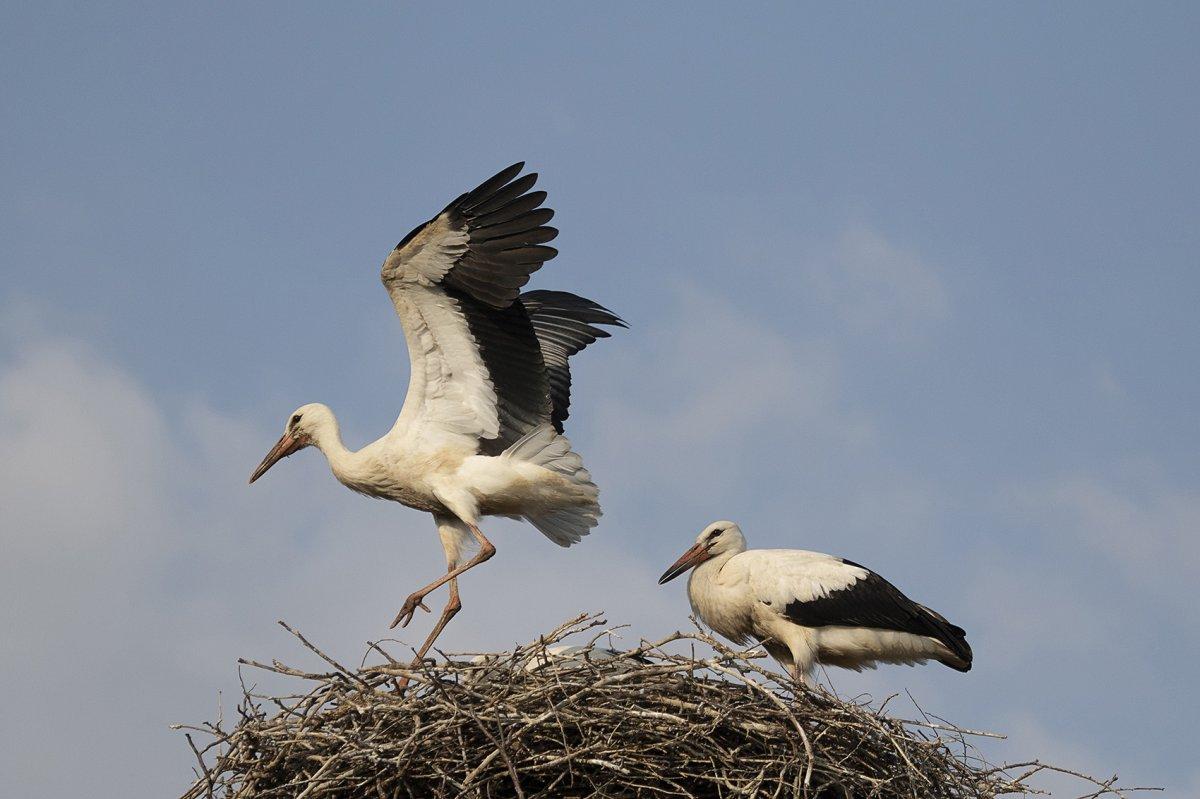 Szépen gyarapodott a gólyaállomány a Körös-Maros Nemzeti Parkban